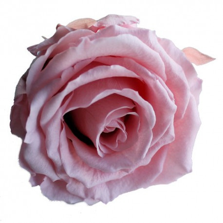 BBU001F118 English Rose