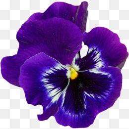 BDM001F113 Violet Dreams
